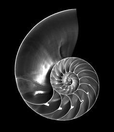Image result for nautilus