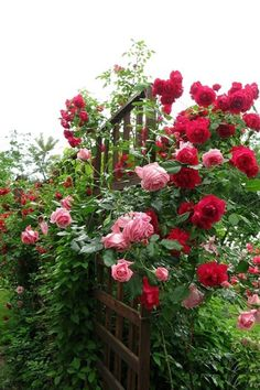 Rose Trellis                                                                                                                                                      Mais
