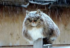 Siberian Cats are amazing and smashing! - Imgur