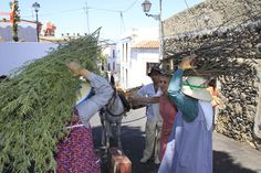 People transporting wood and trees during the 'Day of Traditions'#GuiadeIsora #Tenerife