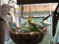 Natural Environment Enrichment - Playful Food Options For  Australian Parrots. In this i show my birds eating a variety of native Australian plants that parrots love, and also a few other fun food options to keep your feathered companion mentally and physically stimulated. If you have any questions please dont hesistate to ask!