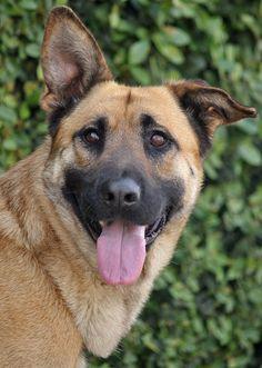 Hogan von Halver is a beautiful German Shepherd mix.  Westside German Shepherd Rescue of Los Angeles