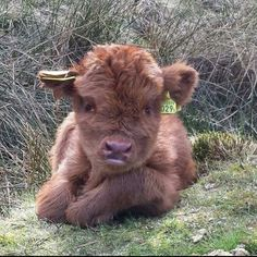 """Highland cow calves are really very sweet!"" I'm sure they are but this calf, in your post, has tags on his or her ears, Why? Cute Baby Cow, Baby Cows, Cute Cows, Cute Baby Animals, Farm Animals, Animals And Pets, Cute Babies, Wild Animals, Highland Calf"