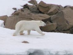 Groenland : , l'ours blanc