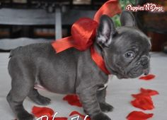 We offer French Bulldogs in Los Angeles, CA. This listing is called Bet French Bulldog Puppies. Happy Birthday French Bulldog, French Bulldog Blue, French Bulldog Puppies, French Bulldogs, Cute Puppies, Cute Dogs, Dogs And Puppies, Doggies, Animals And Pets