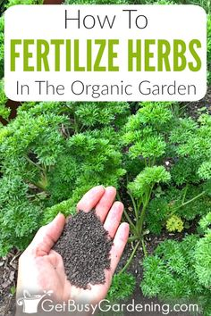 How To Fertilize Herbs In The Organic Garden - Get Busy Gardening Herbs aren't heavy feeders, so you Organic Plants, Organic Vegetables, Growing Vegetables, Organic Gardening, Container Gardening Vegetables, Vegetable Gardening, Garden Soil, Herb Garden, Potted Garden