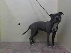 URGENT - Manhattan Center    SASSA FLASH - A0992984   FEMALE, GRAY / WHITE, PIT BULL MIX, 1 yr  STRAY - STRAY WAIT, NO HOLD Reason STRAY   Intake condition NONE Intake Date 03/03/2014, From NY 10009, DueOut Date 03/06/2014 https://www.facebook.com/Urgentdeathrowdogs/photos_stream