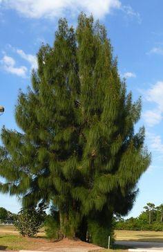 Australian Pines