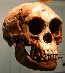 """Skull with associated mandible. Homo floresiensis (""""Flores Man""""; nicknamed """"hobbit"""" and """"Flo"""") is an extinct species in the genus Homo. The remains of an individual that would have stood about 3 feet (0.91 m) in height were discovered in 2003 on the island of Flores in Indonesia. Partial skeletons of nine individuals have been recovered, including one complete cranium (skull).[1][2] These remains have been the subject of intense research to determine whether"""