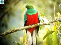 ☎️ https://www.facebook.com/WonderBirdSpecies/ ️ Image may contain: birdCrested quetzal (Pharomachrus antisianus); Native to South America;  IUCN Red List of Threatened Species 3.1 : Least Concern (LC)(Loài ít quan tâm)  Quetzal mào; Loài bản địa Nam Mỹ; HỌ NUỐC - TROGONIDAE (trogons and quetzals).