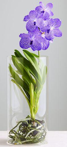 Rare Blue Vanda Orchids                                                       …