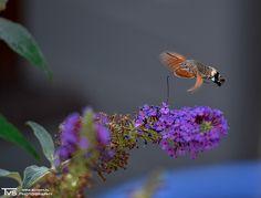 Vroege Vogels: Kolibrievlinder