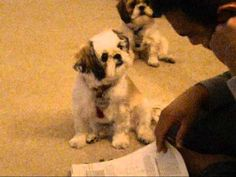 <3 Shih Tzu | Dog obsessed with owner!!! Must watch!