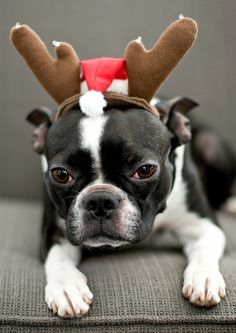 Boston Terrier - oh, no, here we go again!