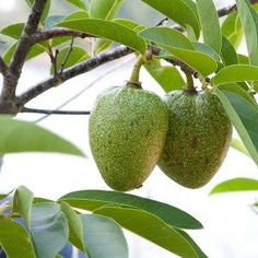 Pond Apples (Anonna glabra) is a tropical fruit tree native to tropical Americas. The fruit is edible and its taste is reminiscent of ripe honeydew melon.