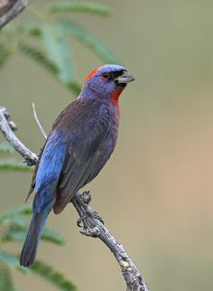 The Varied Bunting (Passerina versicolor) is a species of songbird in the Cardinal family. The range of the Varied Bunting stretches from the southern parts of Arizona, New Mexico, and Texas in the United States south throughout Mexico as far as Oaxaca. Small disjunct populations occur in the state of Chiapas in Mexico and south eastern Guatemala.