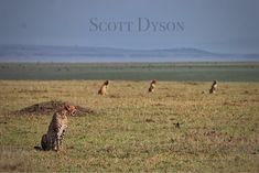 The Musketeers sit in the sun on the Mara plains, their faces still tinted with red from their last meal. Their coalition has astounded us again and again and we hope to see more of them in the future. #safarilive #maasaimara #cheetah #musketeercoalition #spots #africa #instagram    Photo Credit: @scottydsafari