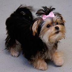 #morkie #dogs #cute