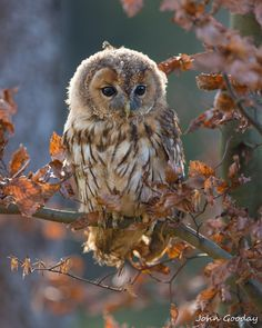 One day I'll fly away by John Gooday on 500px. Young tawny owl
