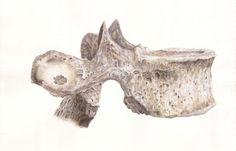 Ilustração Científica em aquarela e lápis de cor aquarelável. Vértebra torácica.
