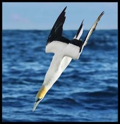 Richard Freeman - Alone at sea with my Gannets