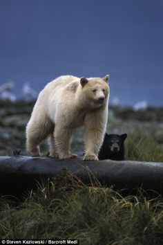 Spirit bear--blonde black bear---Mother and baby were caught by a camera hidden by a blind
