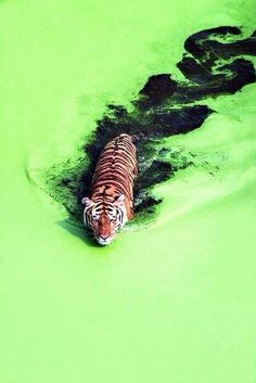 Tiger in the green