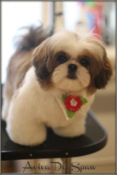 Shih Tzu with top lip shave. Hmmmm looks cute. May have to do that. I love the look of the body. Not too short but not long either