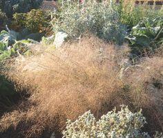 Eragrostis spectabilis | Lambley Nursery
