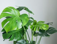 How To Care For Monstera Deliciosa (Swiss Cheese Plant) - Smart Garden Guide Tall Plants, Large Plants, Arrowhead Plant, Lucky Bamboo Plants, Indoor Plants Low Light, Plants Indoor, Swiss Cheese Plant, Window Plants, Corn Plant
