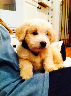 Bennet- a mini golden doodle puppy