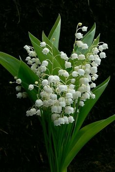 Beautiful Rose Flowers, Amazing Flowers, Beautiful Gardens, White Flowers, Lily Of The Valley Flowers, Flower Aesthetic, Flower Pictures, Daffodils, Spring Flowers