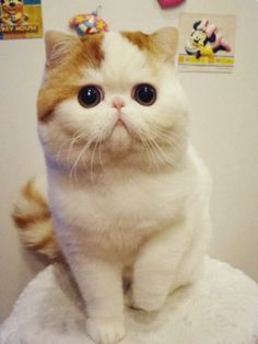 Snoopybabe : le chat le plus mignon de Chine