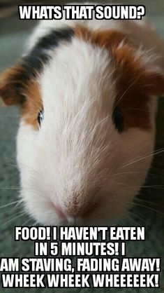 They are literally a bottomless pit Baby Guinea Pigs, Guinea Pig Care, Baby Pigs, Guinea Pig Funny, Funny Animal Jokes, Funny Animals, Guinie Pig, Guinea Pig Quotes, Funny Pigs