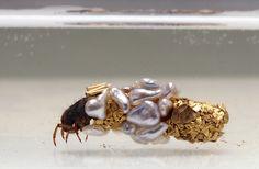 Les Larves dorées de Trichoptères de Hubert Duprat (3)