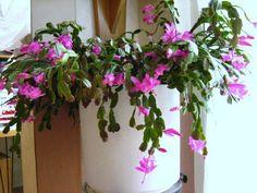 Lidcactus - Kamerplanten zijn meer dan alleen gezellig en decoratief in huis. We denken er zelden bij na, maar ze hebben een gerichte functie die wij kunnen inzetten ook in ons eigen huis. Planten verbeteren namelijk de binnenlucht door verontreinigende stoffen uit de lucht te filteren, verhogen de luchtvochtigheid en kunnen het zuurstofgehalte in de lucht verhogen door zuurstof te produceren.