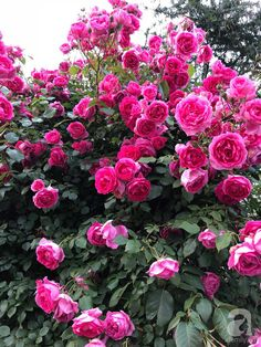 Beautiful Flowers Wallpapers, Beautiful Flowers Garden, Flower Wallpaper, Planting Flowers, Garden Design, Rose, Plants, Gardening, Pink