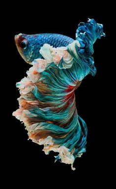 I was looking for some fun pics for you guys……. and I found this really pretty betta. Source by fransenfalter - adorables funny graciosos hermosos salvajes tatuajes animales Pretty Fish, Beautiful Fish, Beautiful Sea Creatures, Animals Beautiful, Colorful Fish, Tropical Fish, Animals And Pets, Cute Animals, Betta Fish Types