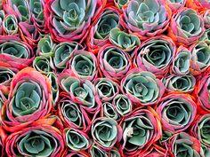 Aeonium rossette