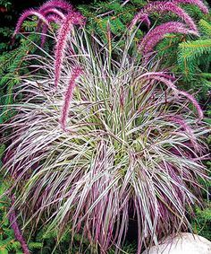 Live Cherry Sparkler Fountain Grass Enjoy a lush burst of fresh color in your garden with this cheerful fountain grass thats easy to care for with each bloom. 36 to 48 H Perennial Full sun to partial shade Grown in the Netherlands Perennial Grasses, Full Sun Perennials, Ornamental Grasses, Shade Perennials, Shade Garden, Garden Plants, Fruit Garden, Garden Seeds, House Plants