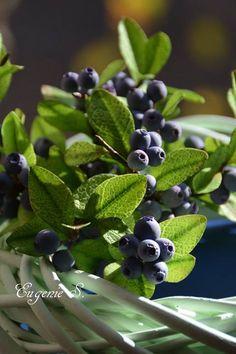 Sugar Blueberries by Eugenie Skalosub