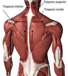 Neck Muscle Anatomy, Body Anatomy, Back Weight Exercises, Shoulder Anatomy, Gross Anatomy, Human Anatomy And Physiology, Anatomy For Artists, Muscle Body, Back Muscles