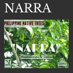 """NARRA (Pterocarpus indicus) Has superb wood quality, medicinal benefits, can survive even if planted in an open & infertile area, & serves as the national tree of the Philippines. Narra is categorized as critically endangered in IUCN Red List 2004. """"Protect our trees, our forests-our source of life!"""" Visit our website: www.rainforestation.ph Other Articles on Narra: ▪Cabatit-Alegre, J. Narra: Nature's immune booster. 2010 December 21. Philippine Star Bike Work Stand, Philippine Star, Forest Plants, Fast Growing Trees, Wood Tree, Flowering Trees, Nature Animals, Landscape Architecture, Trees To Plant"""
