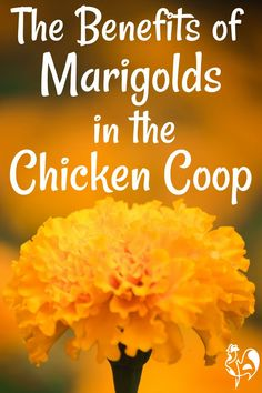 Herbs For Chickens, Raising Backyard Chickens, Backyard Chicken Coops, Keeping Chickens, Chickens And Roosters, Pet Chickens, Backyard Farming, Diy Chicken Coop, Urban Chickens