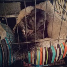Comfy & cozy #zzzzzzz #chinchilla