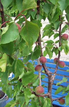 Apricot Kioto. http://www.mandycanudigit.co.uk/#!apricot--pointilla/c1tck