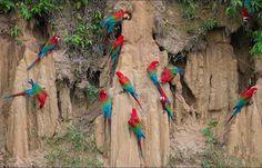 Macaw clay lick - Manu National Park