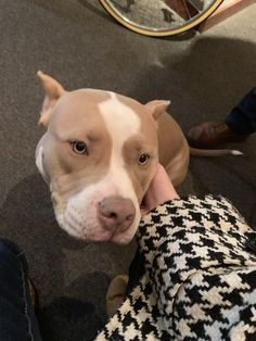 My lawyer has a rescue pit/bulldog mix in his office. I was super stressed and he helped a lot Cute Dogs And Puppies, Baby Dogs, I Love Dogs, Doggies, Pet Dogs, Pitbull Dog Puppy, Pitbull Terrier, Chihuahua Dogs, Terrier Mix