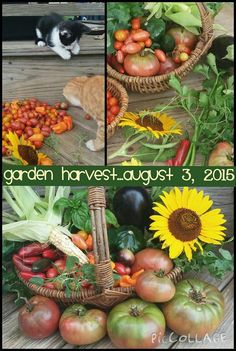 Garden Harvest...August 3, 2015 www,gardenanywherebox.com