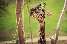 A giraffe's tongue is 18 inches (46 centimeters) long. photo: Stephen Moehle